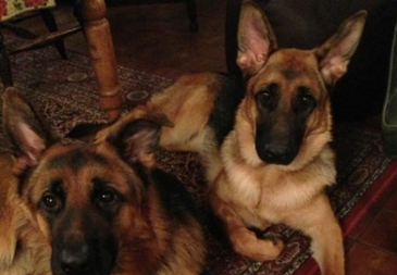 Vonziu German Shepherds